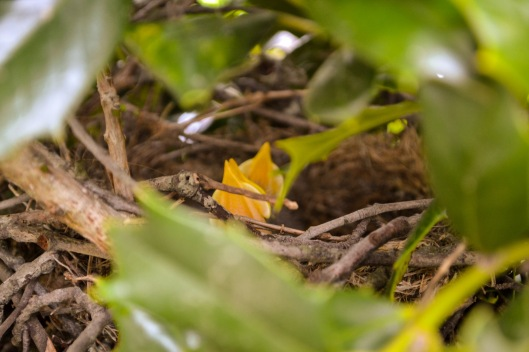 5-3-2013 Baby Mockingbirds (1)